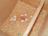 Размножение корелл