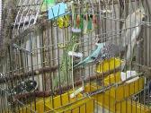 Выбор волнистого попугая